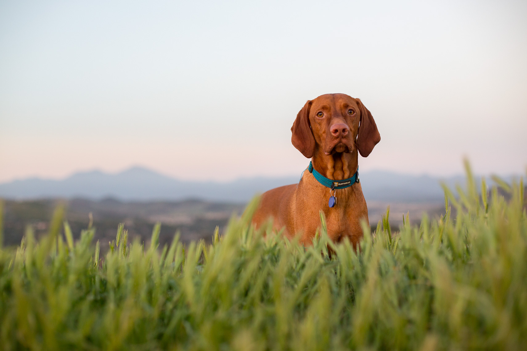 Hunting Dog Grass